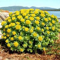 Rhodiola Rosea biljka - Zlatni korijen